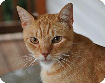 Domestic Shorthair Cat for adoption in Concord, Georgia - Nacho