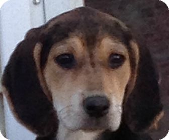 Black and Tan Coonhound/Hound (Unknown Type) Mix Puppy for adoption in Somers, Connecticut - Ayame
