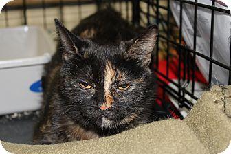Domestic Shorthair Cat for adoption in Santa Monica, California - Kira