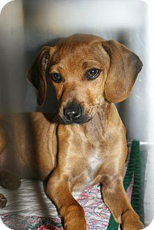 Dachshund Mix Puppy for adoption in Yuba City, California - 02/22 Unnamed