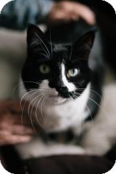Domestic Shorthair Cat for adoption in Warren, Michigan - Bessie