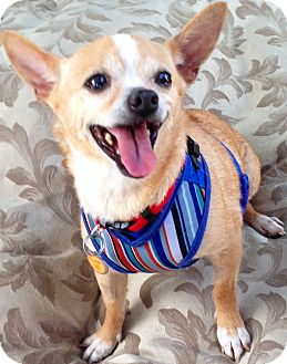 Chihuahua Mix Dog for adoption in San Diego, California - Clover