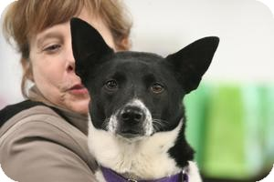 Canaan Dog/Cattle Dog Mix Dog for adoption in Clarksville, Tennessee - Fate