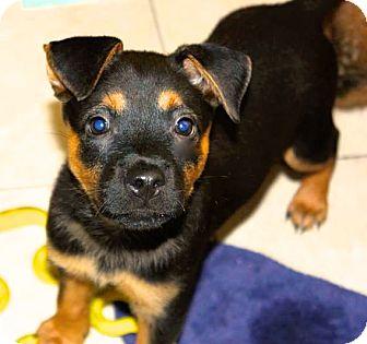 German Shepherd Dog/Terrier (Unknown Type, Medium) Mix Puppy for adoption in Miami, Florida - Mulan