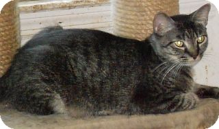 Domestic Shorthair Cat for adoption in Jacksonville, North Carolina - Dixie