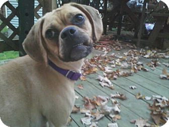 Pug/Beagle Mix Puppy for adoption in Youngstown, Ohio - Abby ~ Adoption Pending