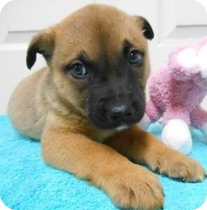 Boxer/German Shepherd Dog Mix Puppy for adoption in Bartonsville, Pennsylvania - Lorenzo