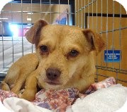 Chihuahua Mix Dog for adoption in Las Vegas, Nevada - Rodriguez
