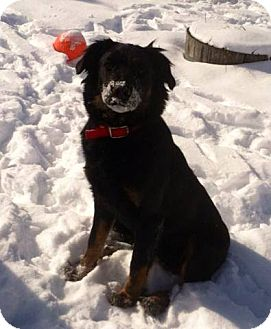 Shepherd (Unknown Type)/Labrador Retriever Mix Puppy for adoption in Lapeer, Michigan - SNICKERS-SWEET YOUNG THING!