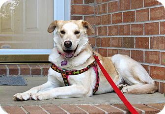 Labrador Retriever Mix Dog for adoption in Salem, New Hampshire - COLETTE
