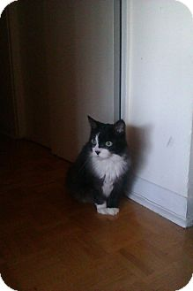 Domestic Longhair Cat for adoption in Toronto, Ontario - Lucy
