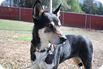 Australian Cattle Dog/German Shepherd Dog Mix Dog for adoption in Yorba Linda, California - Gwendolyn