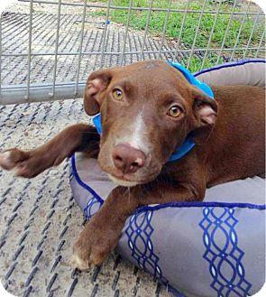 Labrador Retriever/Hound (Unknown Type) Mix Puppy for adoption in Groveland, Florida - Maximus