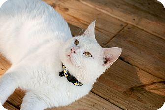 Domestic Shorthair Cat for adoption in Nashville, Tennessee - Samson
