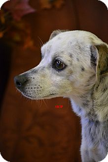 Cattle Dog/Terrier (Unknown Type, Small) Mix Dog for adoption in Higley, Arizona - SKIP