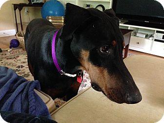 Doberman Pinscher Dog for adoption in Oxford, Pennsylvania - Bruiser