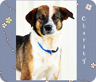 Cattle Dog Mix Dog for adoption in Hillsboro, Texas - Charity