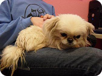 Pekingese Mix Dog for adoption in Fort Lupton, Colorado - Pookie