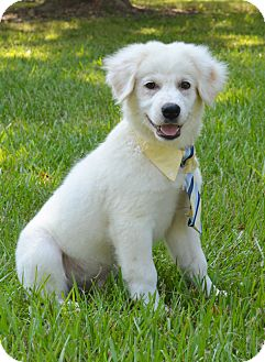 Great Pyrenees/Collie Mix Puppy for adoption in Glastonbury, Connecticut - Hayes