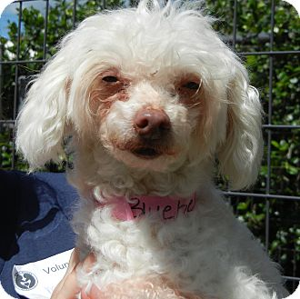 Poodle (Miniature) Mix Dog for adoption in Houston, Texas - Blue Bell