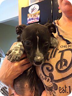 Cattle Dog/Labrador Retriever Mix Puppy for adoption in Hammonton, New Jersey - Darla