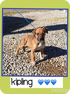 Boxer/Labrador Retriever Mix Puppy for adoption in Washington, D.C. - Kipling (Pom)