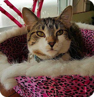 Domestic Shorthair Kitten for adoption in Chicago, Illinois - Tyger