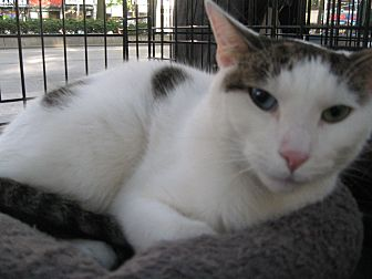 Domestic Shorthair Cat for adoption in New york, New York - MORGAN