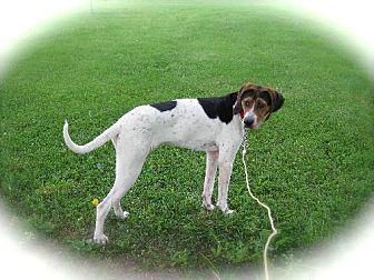 Treeing Walker Coonhound Dog for adoption in Sparta, Illinois - Girl2