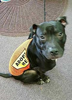 Staffordshire Bull Terrier Mix Dog for adoption in Patterson, New York - Grover