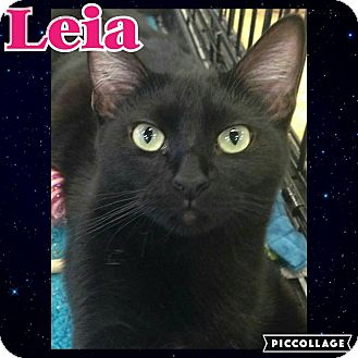 Domestic Shorthair Kitten for adoption in Scottsdale, Arizona - Leia