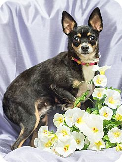 Chihuahua/Rat Terrier Mix Dog for adoption in Chandler, Arizona - S'mores