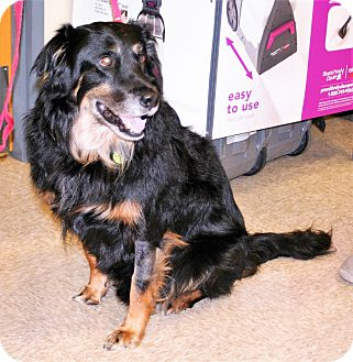 Bernese Mountain Dog Mix Dog for adoption in Umatilla, Florida - Indy