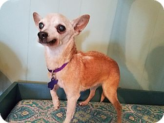 Chihuahua Mix Dog for adoption in Houston, Texas - Myrtle