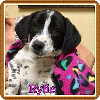 English Setter/Beagle Mix Puppy for adoption in Brattleboro, Vermont - Rylie