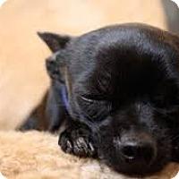Adopt A Pet :: Nina (in adoption process) - El Cajon, CA