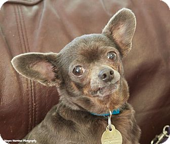 Chihuahua Mix Dog for adoption in Knoxville, Tennessee - Ginger