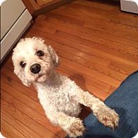 Adopt A Pet :: Bentley (COURTESY POST) - Baltimore, MD