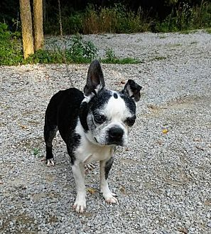 Boston Terrier Dog for adoption in Various Cities in the entire Southeast, Tennessee - Sweet Spot KY