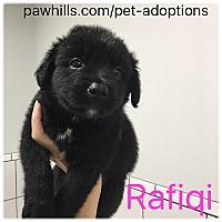 Adopt A Pet :: Rafiqi - Agoura Hills, CA