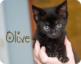 Domestic Shorthair Kitten for adoption in Somerset, Pennsylvania - Olive