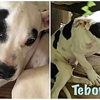 Adopt A Pet :: Tebow - Hartwell, GA