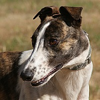 Adopt A Pet :: Hot Lips (Maggie) - Portland, OR