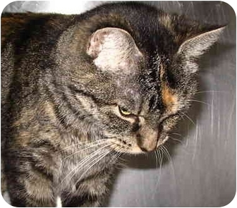 Domestic Shorthair Cat for adoption in San Clemente, California - MABEL