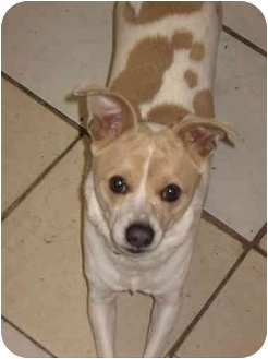 Chihuahua/Jack Russell Terrier Mix Dog for adoption in Buffalo, New York - Beanie: PERFECT!