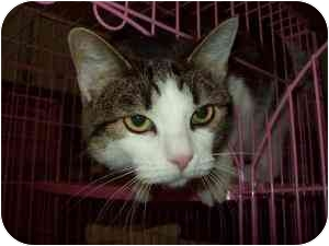 Domestic Shorthair Cat for adoption in Tipton, Iowa - Abby