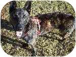Dutch Shepherd Dog for adoption in Jamestown, California - Brandi