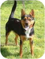 Shepherd (Unknown Type)/Australian Cattle Dog Mix Dog for adoption in Rio Rancho, New Mexico - Cocoa