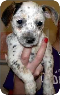 Jack Russell Terrier Mix Puppy for adoption in Broomfield, Colorado - Grays