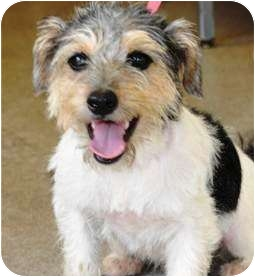 Fox Terrier (Wirehaired)/Poodle (Miniature) Mix Puppy for adoption in Oswego, Illinois - Baby Scruffy